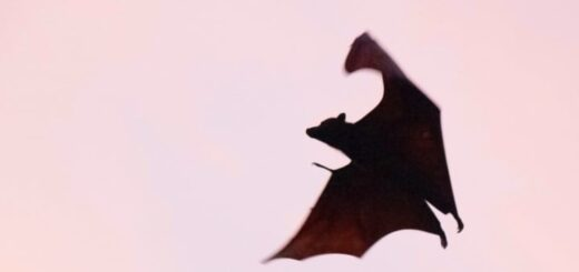 Vampire, chauve-souris
